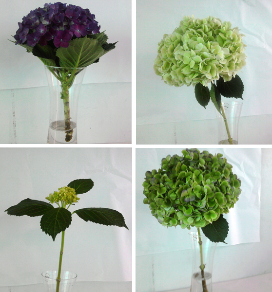 hortensias de varios colores