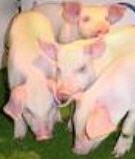 Comprar Costillas de cerdo