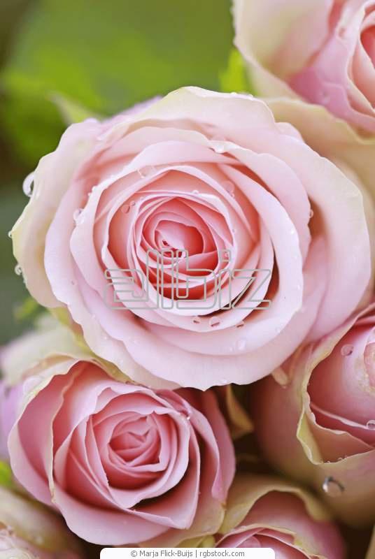 Comprar Rosa