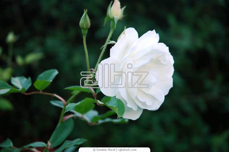 Comprar Rosa blanca