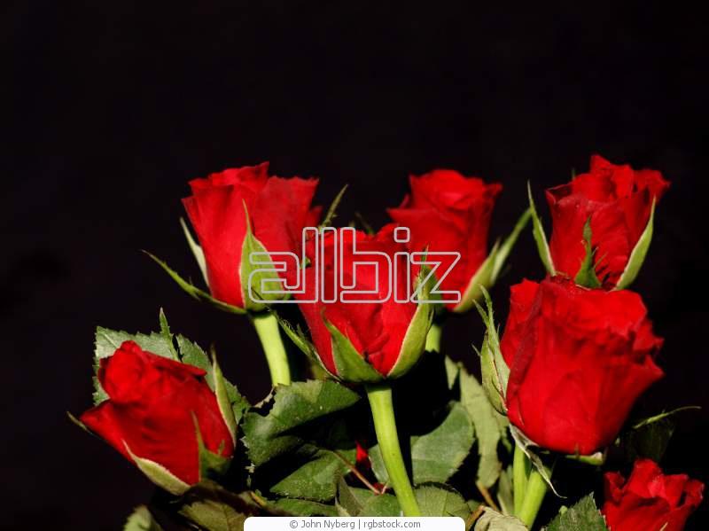 Comprar Rosa roja