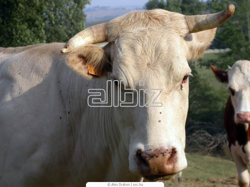 Comprar Ganado bovino de raza