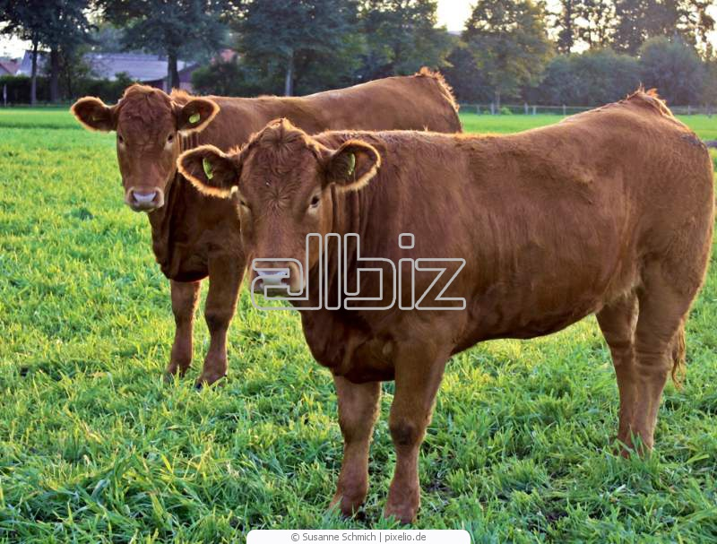 Comprar Ganado de carne y leche