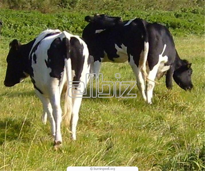 Comprar Vacas sementales