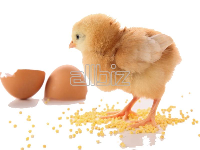 Comprar Huevos de gallina de incubación