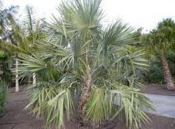 Comprar Palma de Liviston
