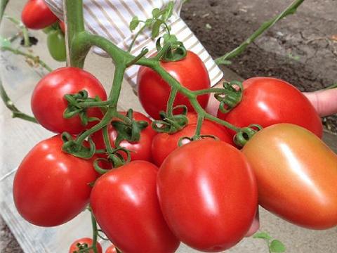 Comprar Tomate Cherry Hidroponico