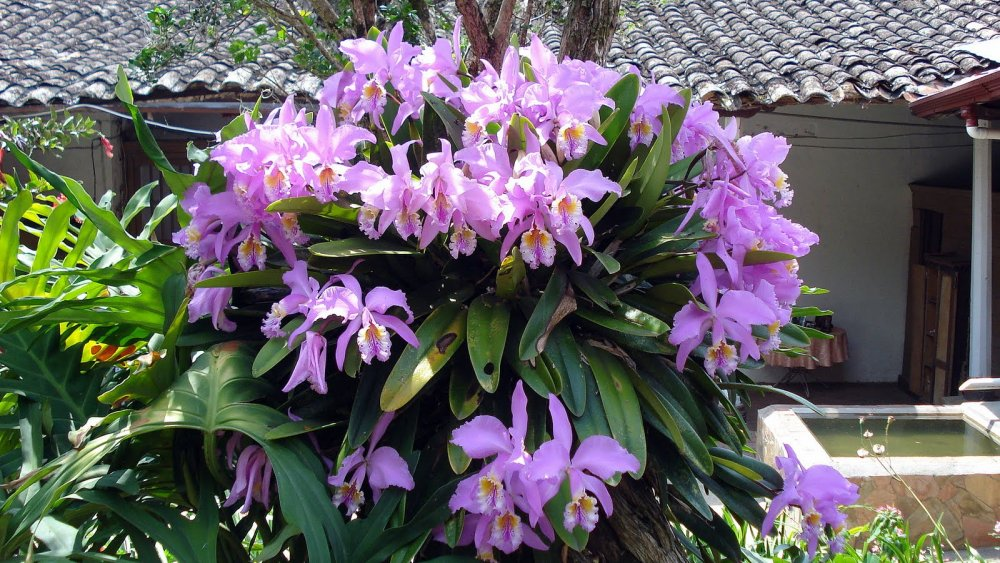 Comprar Orquideas hawaianas