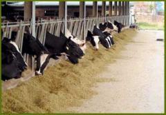 Programa De Alimentación Para Vacas En Producción