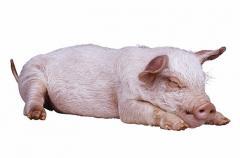 PIG SAVOR