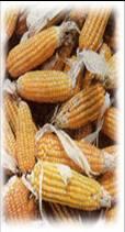 Maiz amarillo/blanco importado y nacional