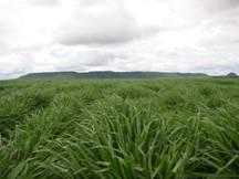 Semillas de pasto pastobras