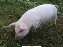 Cebo para cerdos