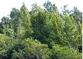 Semillas de Pino Blanco, Pino maximinoi - Pinus