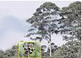 Semillas de Eucalipto Glóbulos - Eucalyptus