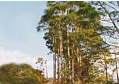 """Semillas de Eucalipto """"Eucalyptus"""