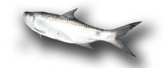 El Sábalo (Tarpon atlanticus, Megalops
