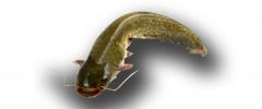 El Bagre (Pseudoplatystomas fasciatum)
