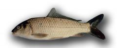 La Carpa (Cyprinus carpio)