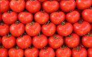 Tomates tipo exportación