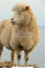 Ovejas de lana