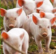Acidificantes para alimentación de animales