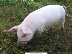 Cerdos de especie grasoso