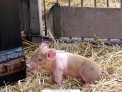 Cerdos sementales