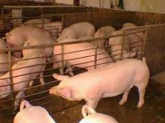 Ganado menudo de cerdos
