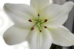 Lilas asiaticas blancas