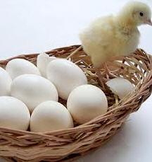 Pollos-broilers diarios
