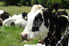 Ganado bovino de leche