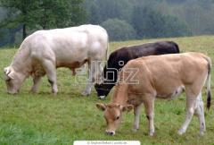 Ganado de carne y leche