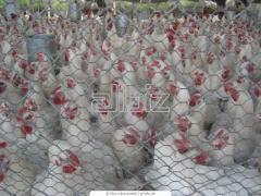 Pollos de carne