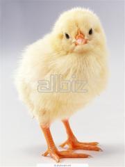 Pollos de broiler