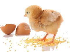 Huevos de gallina de incubación