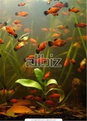 Pez de acuario