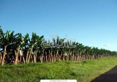 Plantones de plátano