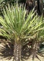 Palma de Yuca