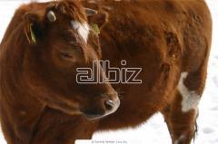 Ganado bovino de raza