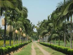 Semillero palmas