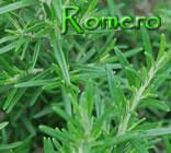 ROMERO (Rosmarinus officinalis)