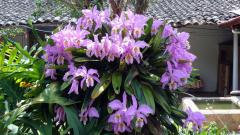 Orquideas hawaianas