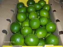 Limon Tahiti (Limon Persa)
