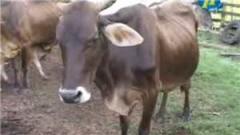 Ganado bovino en Pie