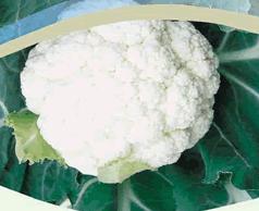 Semillas de coliflor