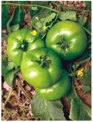 Tomate Monterone, semilla