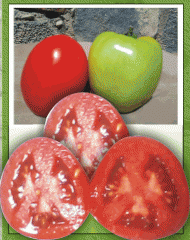 Romeo Tomate Híbrido, semilla