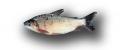 El Bocachico (Prochilodus lineatus.)