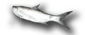El Sábalo (Tarpon atlanticus, Megalops atlanticus.)